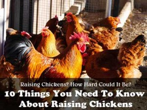 Raising Chickens – 10 Things You Should Know