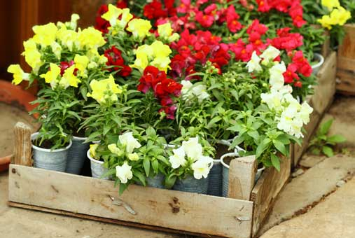 Container Gardening - snapdragon container gardening