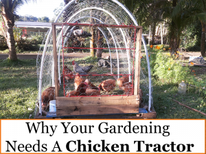 Why Your Gardening Needs a Chicken Tractor